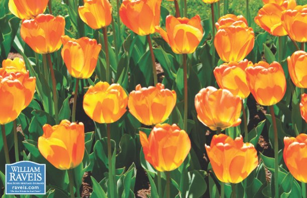 Spring Tulips!